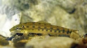 Аквариумная рыба сиамский водорослеед