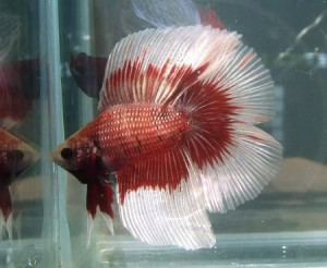Double-Tail Betta