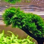 Аквариумный мох фиссиденс