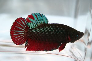 Plakat Betta, Short-Finned Betta