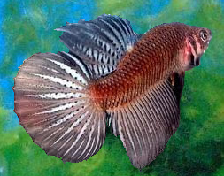 Round Tail Betta, Single Tail Betta