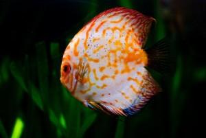 аквариумная рыба дискус