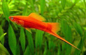 аквариумная рыбка меченосец