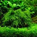 Аквариумный мох плачущий