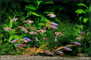 Расбора клинопятнистая соседи по аквариуму