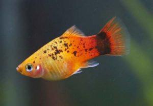 аквариумная рыба пецилия
