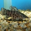 аквариумный сомик таракатум