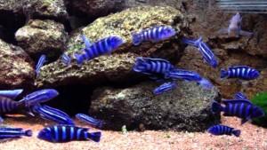 Меланохромис майнгано в аквариуме