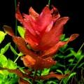 Аквариумное растение ротала макрандра