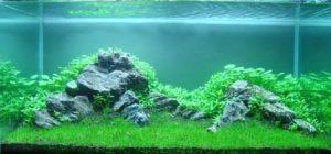 Стаурогин в нано аквариуме на заднем плане