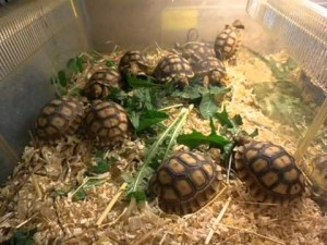 Шпороносная черепаха размножение