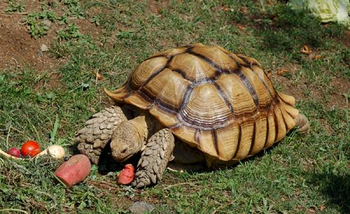 Африканская шпороносная черепаха
