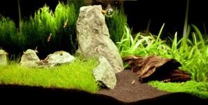 сагиттатия на заднем плане аквадизайн