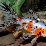 Шубункин золотая рыбка