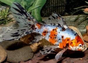 Шубункин (Shubunkin Goldfish)