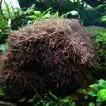 Красная водоросль Калоглосса