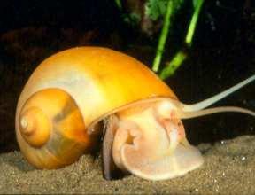 аквариумная улитка ампулярия