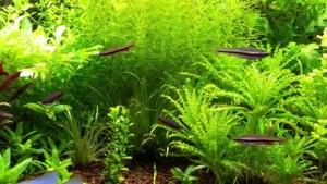 нанностомус бекфорда содержание в аквариуме