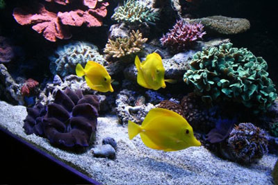 зебрасомы риф
