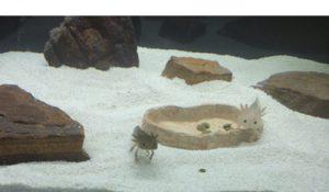 Аксолотли в аквариуме