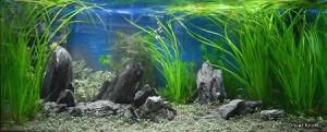 Циперус хелфера аквадизайн