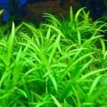 Эхинодорус нежный зеленый