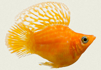 molly-sailfin-balloon-gold