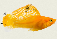 molly-sailfin-gold-leopard