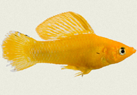 molly-sailfin-saffron-gold