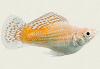molly-sailfin-snow-white