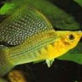 molly-sailfin-yellow