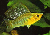 molly-sailfin-yellow
