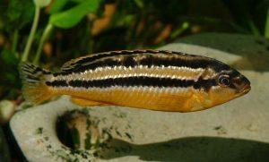 Меланохромис ауратус взрослая самка