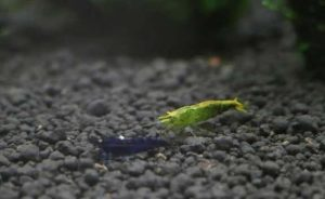 Зеленая креветки