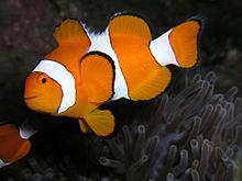 Рыба-клоун оцеллярис