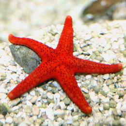 Красная или черно-пятнистая морская звезда