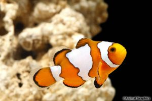Снежинка рыба-клоун