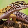 Леопардовый геккон ( Eublepharis macularius )