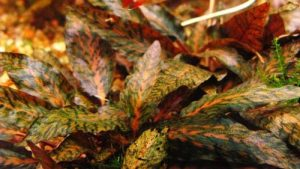 Криптокорина нури (Cryptocoryne nurii rosen Maiden)