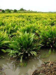 Эхинодорус блехера в природе