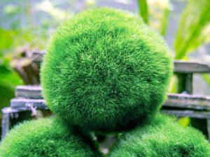 яванский мох шарик