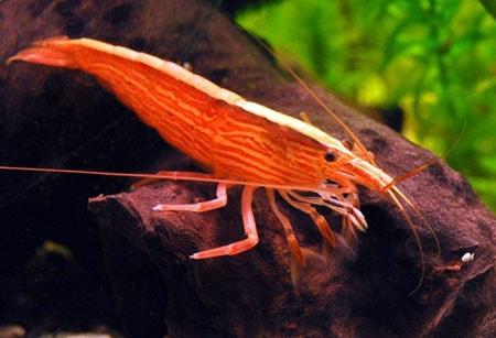 Бамбуковая креветка