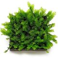 Мох камерун (Plagiochilaceae sp. Cameroon)