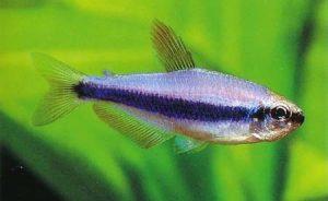 Фиолетовая императорская тетра (Inpaichthys Kerri)