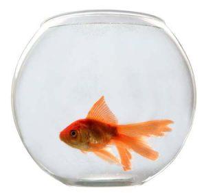 Золотая рыбка в маленьком круглом аквариуме