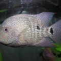 Цихлазома бриллиантовая (Herichthys cyanoguttatus)