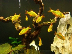 Барбусы шуберта в аквариуме