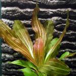 Эхинодорус рубин (Echinodorus