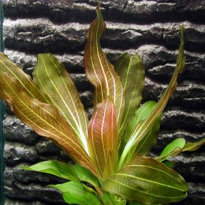 Эхинодорус рубин или красный рубин