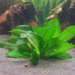 Эхинодорус тропика (Echinodorus parviflorus